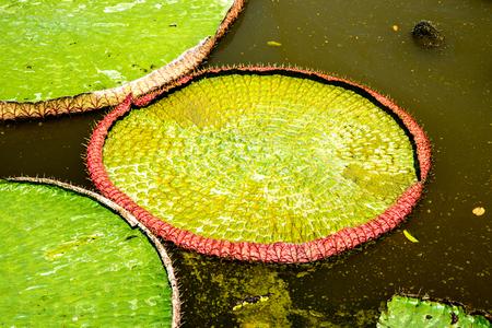 amazonia: Lotus, water lilies, Victoria Amazonia Stock Photo