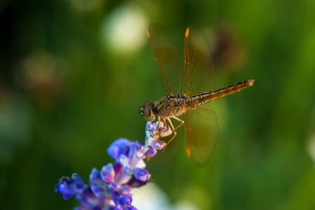 dragonfly wing: Dragonfly on blue flower in the garden