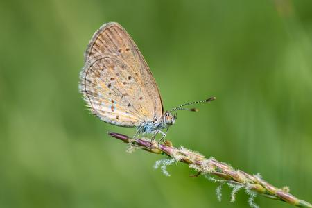 polyommatus icarus: Blue butterfly, Polyommatus icarus closeup on wild flower