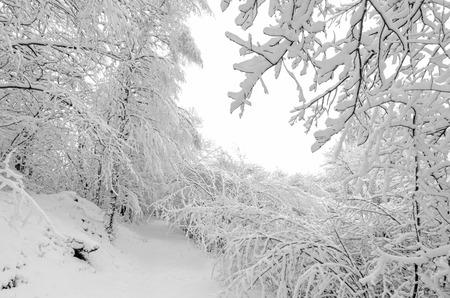 Trees in winter snow storm Zdjęcie Seryjne