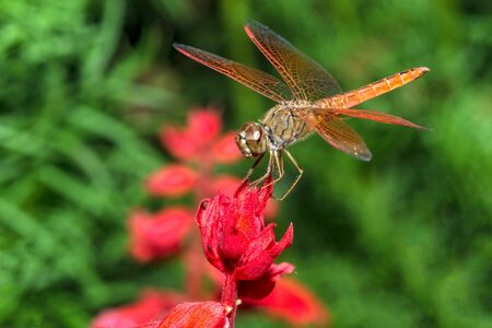 Closeup of dragonfly sitting on red flower