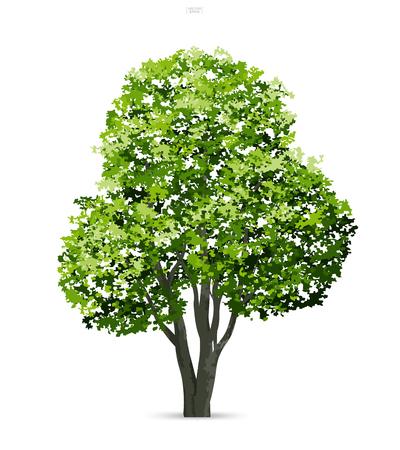 Baum lokalisiert auf weißem Hintergrund mit weichem Schatten. Verwendung für Landschaftsgestaltung, architektonisch dekorativ. Park- und Outdoor-Objektidee für Naturartikel sowohl auf Print als auch auf der Website. Vektorillustration.