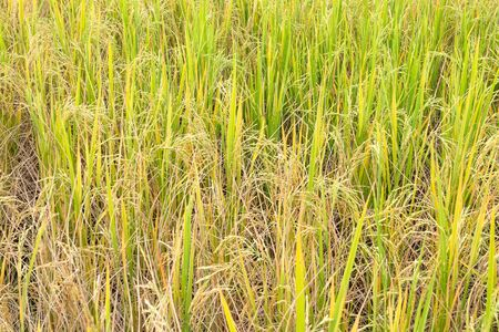 Paddy rice in field in rainy season. Natural farmer background. 스톡 콘텐츠