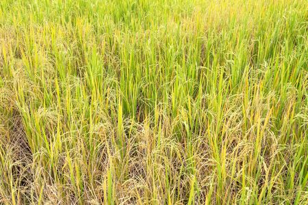 Paddy rice in field in rainy season. Natural farmer background. 写真素材