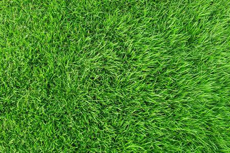 Textur des grünen Grases für den Hintergrund. Grünes Rasenmuster und Beschaffenheitshintergrund. Nahaufnahme. Standard-Bild