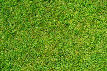 Texture background of green grass is used to make sports fields such as golf, soccer, football and gardening. Close-up image.