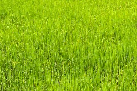 Paddy rice field in rainy season. Smartphone shot. Standard-Bild