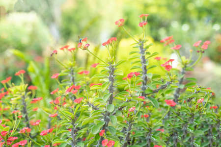 Poi Sian and red flowers are blooming in the ornamental garden. Abstract natural background.
