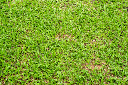 Green grass texture for background. Green lawn pattern and texture background. Close-up.