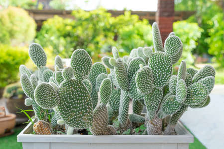 Beautiful cactus in pot. Widely cultivated as an ornamental plant. Selective focus close-up shot.