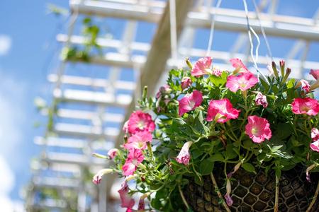 Beautiful petunia flowers in the garden.