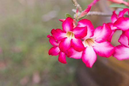 Beautiful fresh red Azalea flowers. Stock Photo