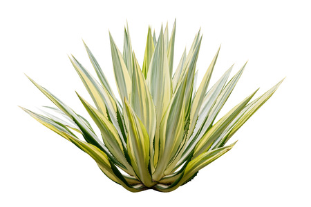 Agave plant isolated on white background. Stock Photo