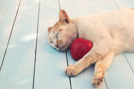 The cat sleeps on a blue table with a red heart. Valentine concept.