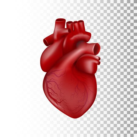 Realistic 3D Human Heart. Anatomic Template With Venous System.