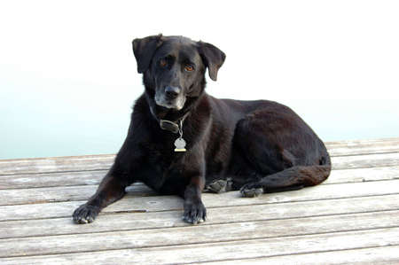grizzled: Regal Aging Black Labrador Rests on Dock Stock Photo