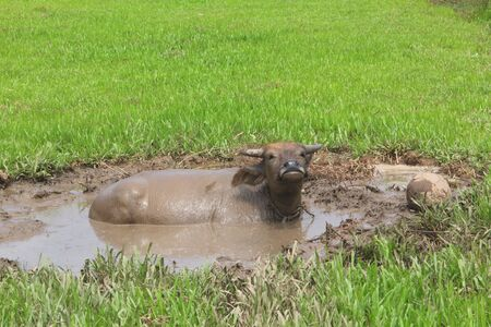 eating grass, playing football, mud bath, as animals such as buffalo.