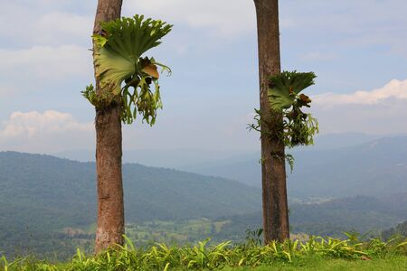 staghorn fern: fern(polypodiaceae) is a plant that shows the integrity of the forest.