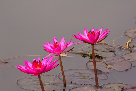 three pink lotus blossoms or water lily flowers blooming on pond Stock Photo