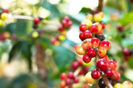 tree plantation: coffee tree with ripe berries on farm, Thailand