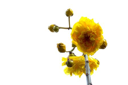 yellow flower on white background  isolate  lower view Stock Photo