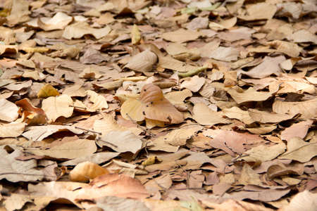 sear and yellow leaf: Lot of dry leaves lying on the ground