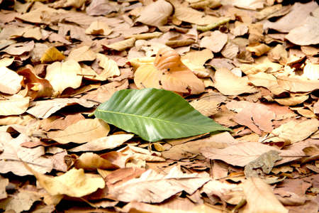 sear and yellow leaf: Single green leaf in dry leaves on ground