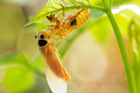 cicada changing its skin in the rainforest Stock Photo
