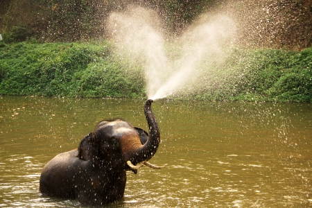 Thai elephant  daily bath  in lumpang, Thailand photo