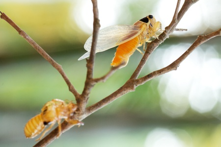 cicada changing its skin in the rainforest Stock Photo - 13658463