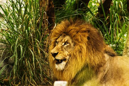profile of a relaxed  lion staring in the zoo Stock Photo - 13712589