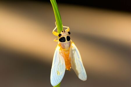 cicada larva climbed on a leaf, just before metamorphosis into an adult insect  Stock Photo - 13809203