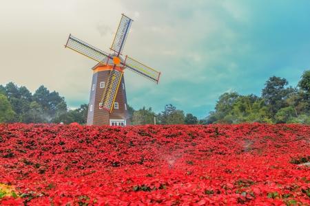 Red Poinsettia garden  and Wind turbine - christmas flower Stock Photo