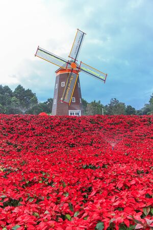 Red Poinsettia garden  and Wind turbine - christmas flower Stock Photo