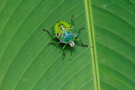 the green insect   perching on green banana leaf