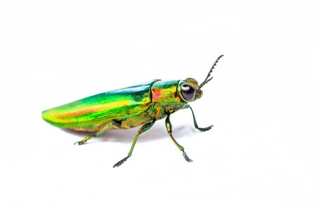 Metallic wood-boring beetle on white background