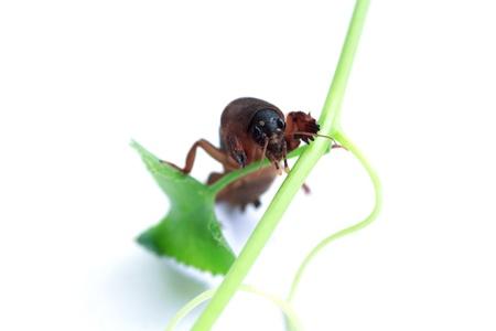 saboteur: Mole cricket isolated on white background  Gryllotalpidae  Stock Photo