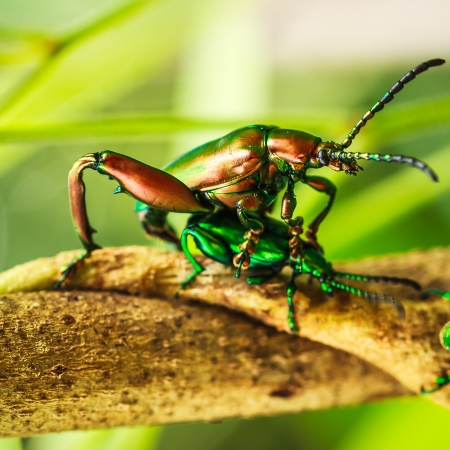 Macro shooting Insect mating  Blister beetle Meloe
