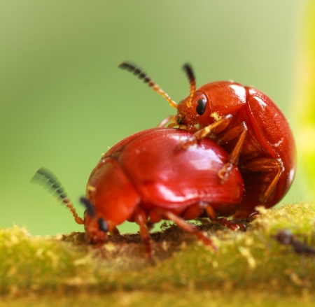Orange beetle species  in  nature or in garden Stock Photo