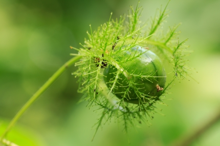 encapsulated: Encapsulated green fruit with leaf  in forest