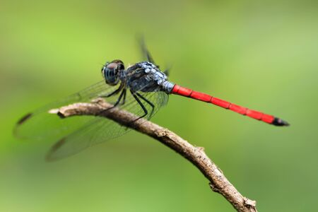 Red dragonfly caught in a tree