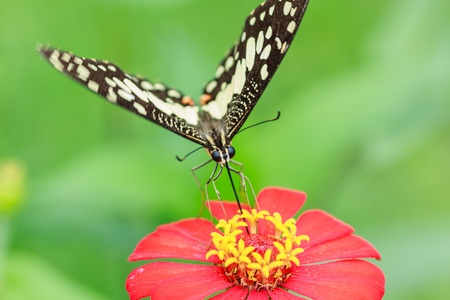 butterfly feeding on a pink zinnia in sunny summer garden Stock Photo