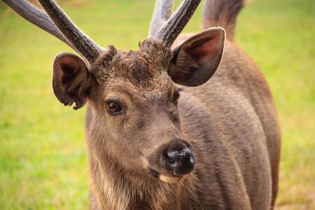 portrait of deer on Phu kradung nation park  in Loei province ,Thailand Stock Photo