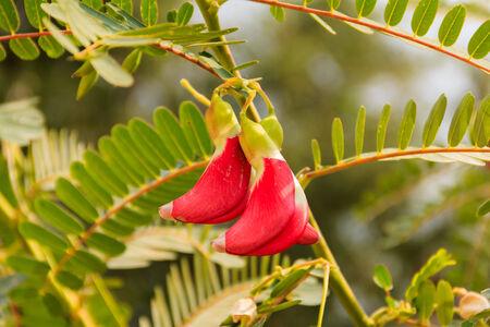 red sesban flower on tree ,vegetable photo