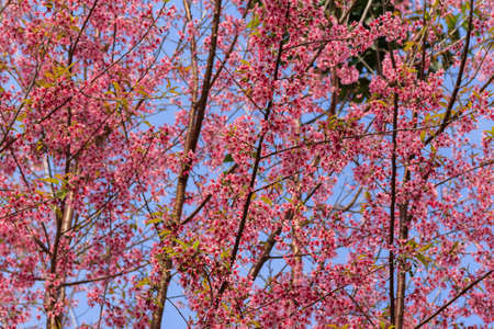 The Branch Sakura blooming spring tree branches with pink  flowers photo