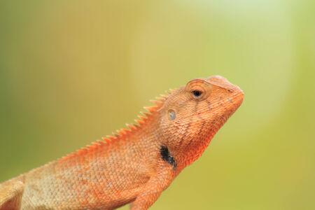 thai chameleon in garden close-up photo