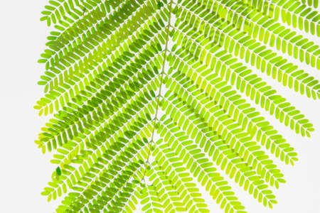 green sprig of leaves  isolated on white background photo