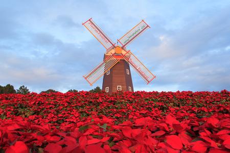 Étoile de Noël, jardin de poinesettia rouge et éolienne - fleur de noël Banque d'images