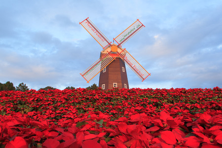 Christmas star, red poinesettia garden  and  wind turbine - christmas flower Stock Photo