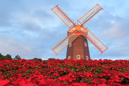 Christmas star, red poinesettia garden  and  wind turbine - christmas flower Stock Photo